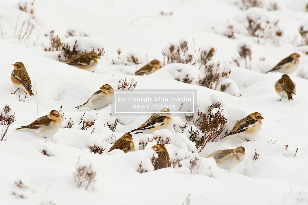 Snow Buntings search for food in the Cairngorms as Storm Doris hits the UK. 24 Feb 2017 (c) Brian Anderson   Edinburgh Elite media