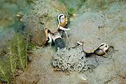 Milk Conch Strombus costatus mating in Singer Island, FL
