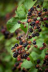 Wild blackberrries growing in a hedgerow. Rubus fruticosus agg - Blackberry, bramble