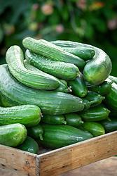 Cucumber 'Marketmore'