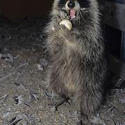 Raccoon (Procyon lotor) raiding chicken eggs in a chicken coop in Montana. Captive Animal