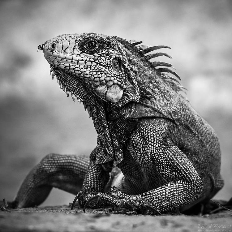 Iguana portrait B&W