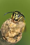 Common Wasp - Vespula vulgaris