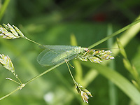 Chrysopa oculata a member of Typical Green Lacewings, along the reservoir running track in Central Park today, June 1, 2021.