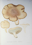 Polyporus ovinus Mushrooms, Pathogenic fungi from the book Sveriges ätliga och giftiga svampar tecknade efter naturen under ledning [Sweden's edible and poisonous mushrooms drawn after nature under guidance] By Fries, Elias, 1794-1878; Kungl. Svenska vetenskapsakademien Published in Stockholm, Sweden in 1861