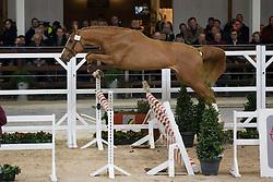 012, Nixon van't Meulenhof<br /> BWP Hengsten keuring Koningshooikt 2015<br /> © Hippo Foto - Dirk Caremans<br /> 21/01/16