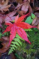 Autumn leaves, Japanese maple, Acer palmatum, and fern, Lu Shan, Taiwan
