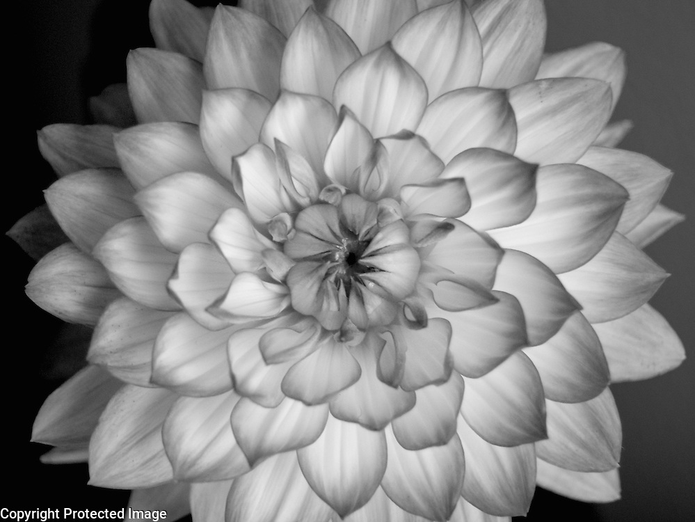The luminous quality of this dahlia emerged when I converted it to monotone.