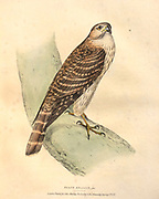 Merlin (Falco columbarius syn Falco aesalon) color plate of North American birds from Fauna boreali-americana; or, The zoology of the northern parts of British America, containing descriptions of the objects of natural history collected on the late northern land expeditions under command of Capt. Sir John Franklin by Richardson, John, Sir, 1787-1865 Published 1829