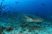 tawny nurse shark, Nebrius ferrugineus, accompanied by golden pilot jack ( trevally ) and remoras or sharksuckers, Shark Reef Marine Reserve, Beqa Passage, Viti Levu, Fiji ( South Pacific Ocean )