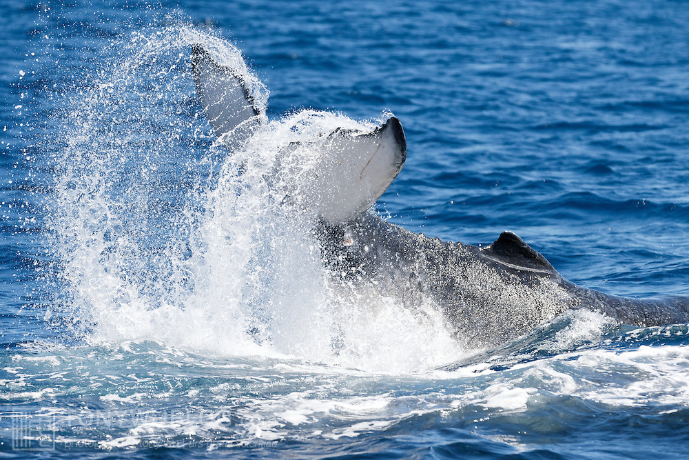 Female humpback whale calf (Megaptera novaeangliae) tail slapping at the ocean surface, playing with her mom and an escort.
