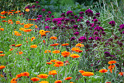 Calendula officinalis 'Indian Prince' (Prince Series) with Dianthus barbatus 'Oschberg' in the cutting garden. Marigolds and Sweet William