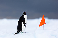 Adelie Penguin in the snow on pack ice near Cape Washington Colony with boundary marker flag in background