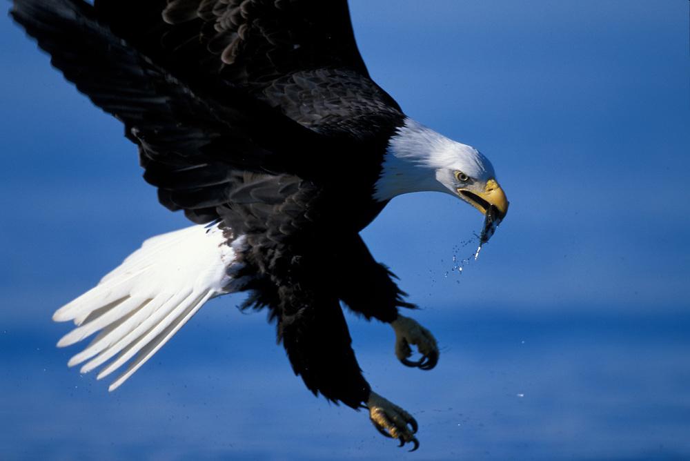 USA, Alaska, Homer, Bald Eagle (Haliaeetus leucocephalus) catches mackerel from Kachemak Bay on winter morning