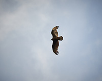 Turkey Vulture. Image taken with a Nikon D3 camera and 70-200 mm f/2.8 lens (ISO 200, 200 mm, f/2.8 1/1600 sec).