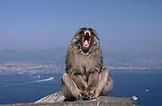 Barbary Macaque monkey with mouth wide open, Gibraltar, UK. These tailless monkeys are the only free-living monkeys in Europe.