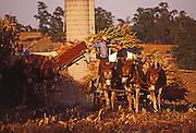Amish corn harvest, Lancaster County, PA