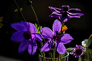 back lit purple flower with dramatic lighting