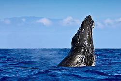 humpback whale, Megaptera novaeangliae, breaching, Haleakala of Maui in background, Hawaii, Pacific Ocean