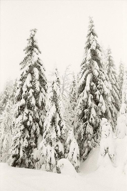 Forest during winter in Karkonosze, Poland