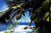 Coconut tree, Hawaii<br />