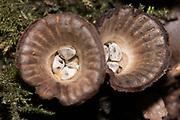 Fluted bird's nest fungus (Cyathus striatus). Sussex, UK.