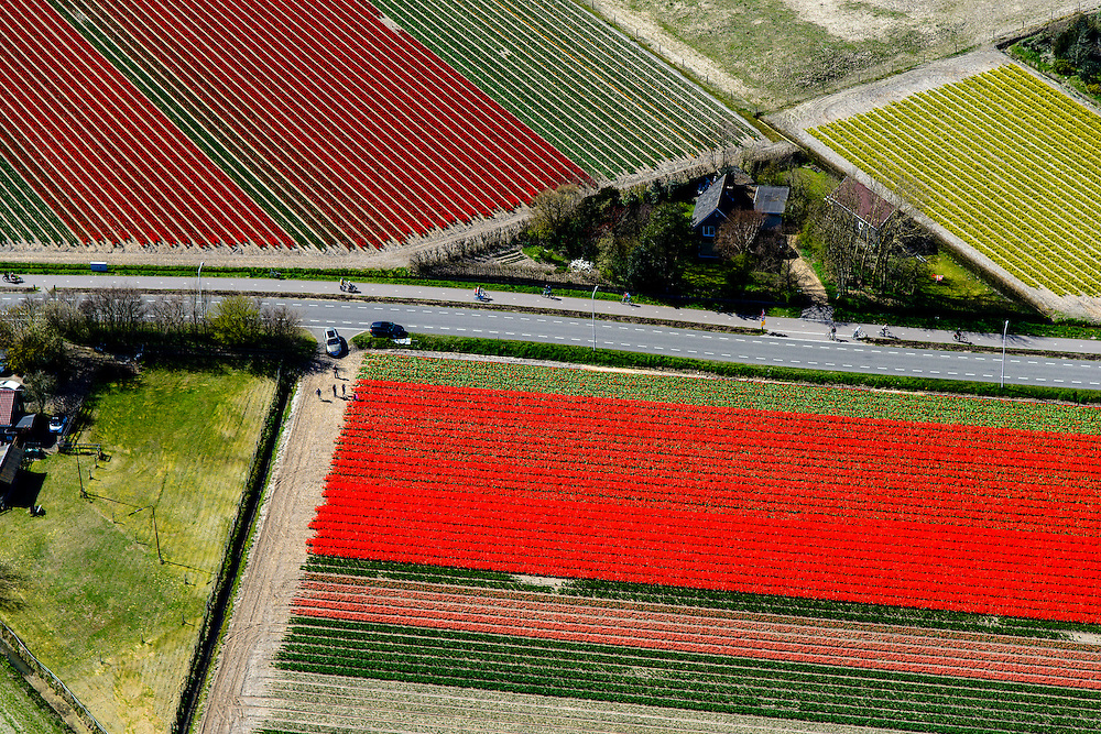 Nederland, Noord-Holland, Bergen, 20-04-2015;<br /> begin van de bloei van bloembollenveld met tulpen in het voorjaar, omgeving Egmond aan den Hoef, historisch gebied voor de teelt van bollen op geestgrond. <br /> Beginning of flowering bulbs field in spring.<br /> luchtfoto (toeslag op standard tarieven);<br /> aerial photo (additional fee required);<br /> copyright foto/photo Siebe Swart