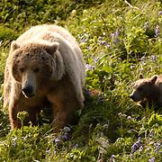 Alaskan Brown Bear (Ursus middendorffi) Mother and cubs on grassy hillside. Katmai National Park. Alaska. Spring.