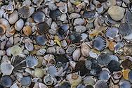 cedar beach shells, Southold, NY