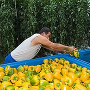 September 2009 20090901 ..Een arbeider immigrant sorteert paprika's in transport kisten.  .An immigrant worker at work in greenhouse, immigration.                               ..Foto: David Rozing