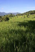 Rice field, Sri Lanka