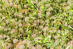 Sterklaver, Trifolium stellatum