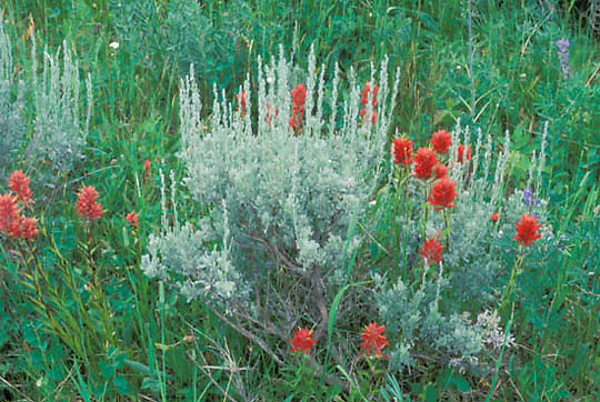 Wildflowers, Red Indian Paintbrush flower in sage. Montana.