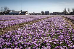 Growing field of Crocus 'Spring Beauty' in Holland