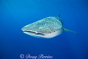 whale shark ( Rhincodon typus ) with mouth open to feed on plankton, Kona Coast Hawaii Island ( the Big Island ), Hawaiian Islands, USA ( Central Pacific Ocean ), tail of remora or sharksucker protruding from spiracle