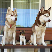 "3 Huskies Become Best Friends With A Cat After Saving It From Dying<br /> <br /> Rosie the kitten, found and rescued on the brink of death, was nursed back to health by Lilo the Siberian husky, who took her on like a puppy of her own. The then-three-week-old feline and her surrogate mother bonded instantly, and after a week of tender and loving care, Rosie opened her eyes and began to walk on her own.<br /> ""She almost did not make it through the first night,"" writes lilothehusky on Instagram, ""even with round the clock care. She was lethargic and limp. So we decided to go out on a limb and let her cuddle extensively with Lilo. By some miracle, she started suckling on Lilo and Lilo went full 'mom mode.'""<br /> While animal surrogacy happens from time to time, lilothehusky warns against trying to force it: ""Huskies are notorious for their intense prey drive!! So please please don't run out and get a kitten (or a husky) expecting them to be best friends.""<br /> ©Exclusivepix Media"