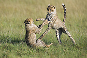 Cheetah <br /> Acinonyx jubatus<br /> 7-9 month old cubs playing<br /> Masai Mara Conservancy, Kenya