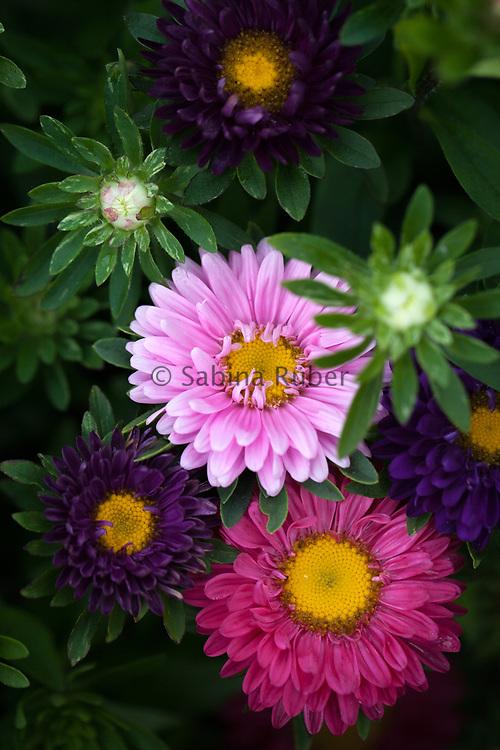 Callistephus chinensis - Summer Bouquet Mixed
