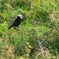 """""""Freirinha (Arundinicola leucocephala) fotografado em Burarama, distrito do município de Cachoeiro de Itapemirim, no Espírito Santo -  Sudeste do Brasil. Bioma Mata Atlântica. Registro feito em 2018.<br /> ⠀<br /> ⠀<br /> <br /> <br /> ENGLISH: White-headed Marsh Tyrant photographed in Burarama, a district of the Cachoeiro de Itapemirim County, in Espírito Santo - Southeast of Brazil. Atlantic Forest Biome. Picture made in 2018."""""""