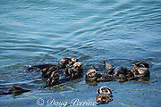 California sea otters, or southern sea otters, Enhydra lutris nereis ( threatened species ), sleeping, resting, and socializing in a raft at the edge of an eel grass bed, Zostera sp.; otter at lower right has a red research tag on its flipper; Morro Bay, California, United States ( Eastern Pacific )