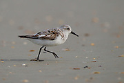 Stock photo of sanderling captured at Anastasia State Park in Florida. These small birds breed only on the High Arctic Tundra.