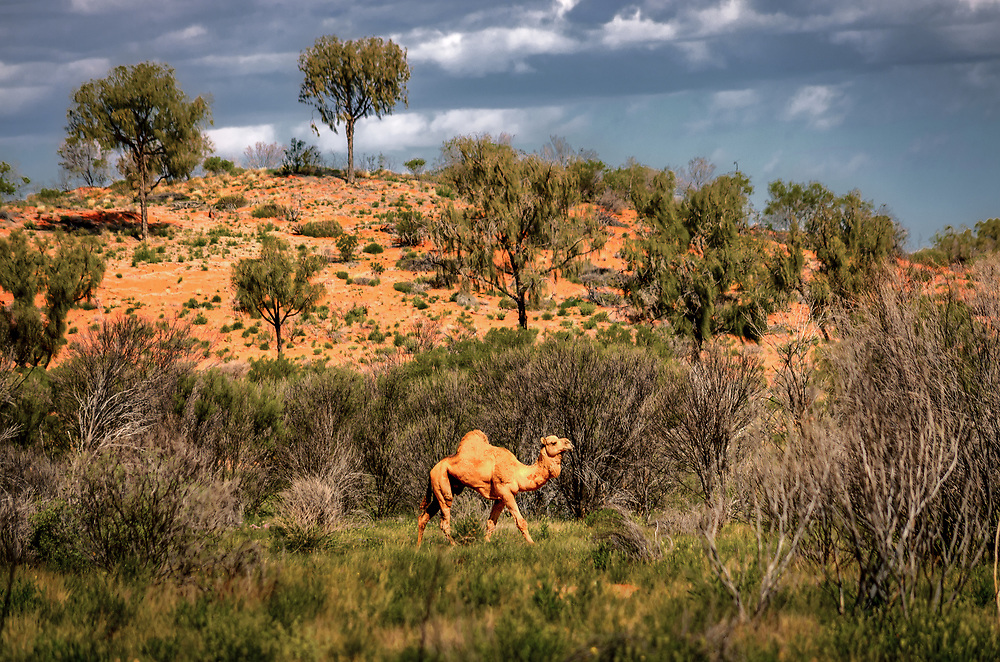 Wild Camel in Australias red Center, Northern Territory