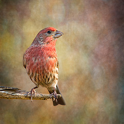 A Male Purple Finch On A Branch With A Proud Pose.