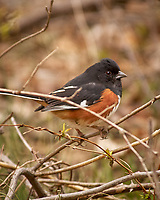 Eastern Towhee. Image taken with a Nikon D2xs camera and 80-400 mm VR telephoto zoom lens.