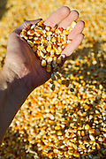 A hand holds dried feed corn.