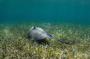 Southern Stingray (Dasyatis americana) & Bar Jack (Caranx ruber)<br /> Belize Barrier Reef<br /> Second largest barrier reef system in the world<br /> BELIZE, Central America