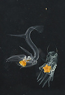 larval cushion stars