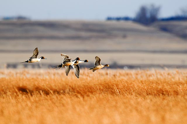 pintail ducks flying