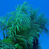 Slimy Sea Plume, Pseudopterogorgia americana, Doc Poulson, Grand Cayman