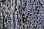 Texture in cedar bark in Ganges, British Columbia, Canada
